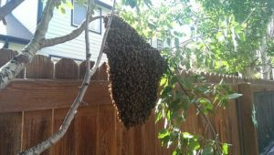 Video, bee extraction  from a tree.