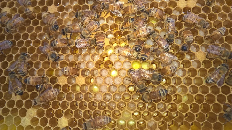 Future bees- bee larva
